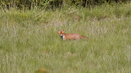 A fox at the former bowling green in Melton Park where new homes could be built Picture: CONTRIBUTED