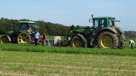 Workers bringing in the vegetable harvest at James Foskett Farms near Woodbridge Picture: BRIAN FIN