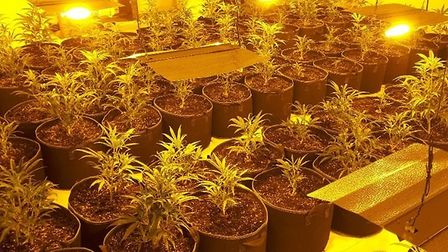 Cannabis factories in Suffolk and Essex have been discovered by police Picture: Suffolk Constabulary