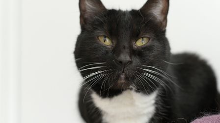 Lady is now the RSPCA's longest cat resident and desperately needs a new home Picture: SARAH LUCY B