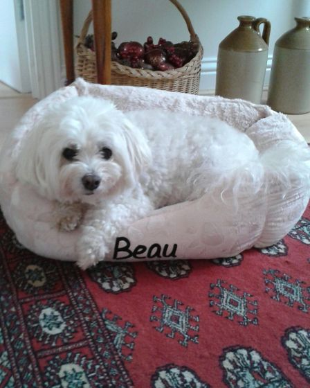 Beau the Bichon Frise recovers at home after his ordeal Picture: ESSEX POLICE