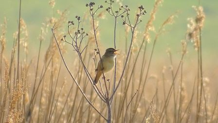 Sedge Warbler at Hen Reedbeds, winner of the U12 category Picture: TESS EASTERBROOK