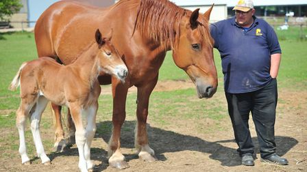 Groom Robert Lambert with Vumba Deeanne with Colony Fern one of the other new foals born in the coun
