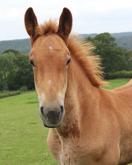 Over 30 new Suffolk punch foals have been born this year Picture: LES KEY