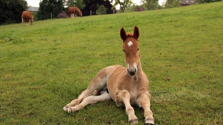 At least 50 new foals a year are needed to save the breed Picture: LES KEY