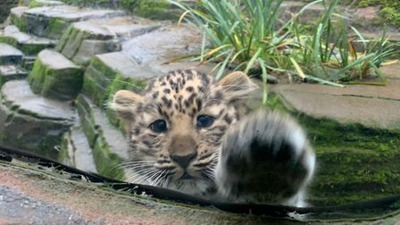 The Amur leopard cubs which were born in Colchester Zoo in September have now been named Lena and Lu