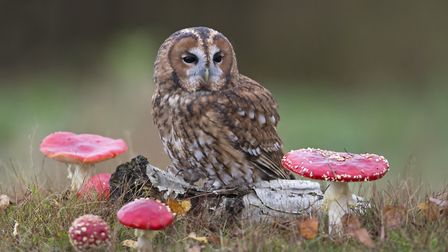 Tawny owls are among the bird species found at the AONB Picture: PAUL SAWER