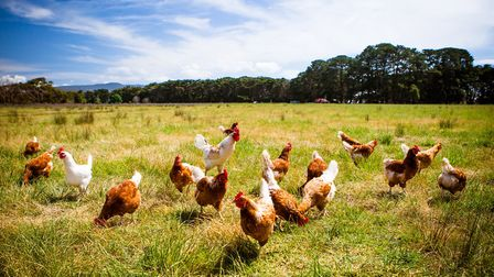 Bird flu has been detected in Mid Suffolk. File photo. Picture: GETTY IMAGES/ISTOCKPHOTO