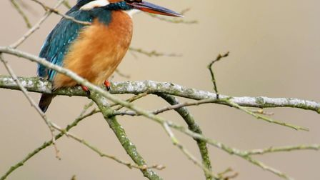 A kingfisher at Lackford Lakes watching the water. Picture: JOHN BOYLE