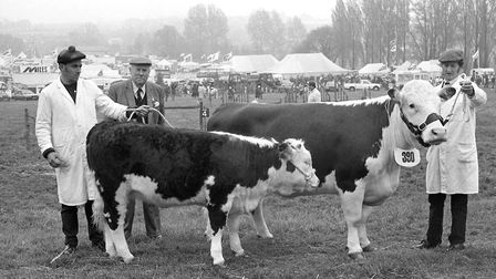 A cow and its calf in the main ring await to be awarded with a rosette in a cattle competition in 19