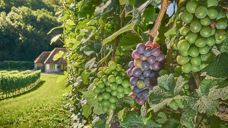 Agri-TechE is hosting a viticulture event in Cambridge on February 11 Picture: MATTHEW THOMAS