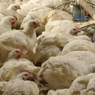 Inspectors are continuing their investigations into the source of bird flu infection in a broiler fa