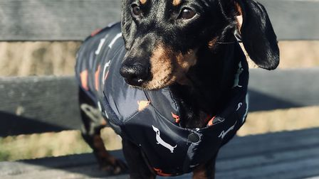 Percy the Dachshund suffers from Intervertebral Disc Disease, impairing his ability to walk Picture: