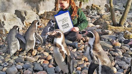 The penguins were nice enough to turn up to be counted for this year's zoo audit Picture: COLCHESTER