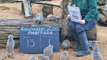 Keepers had to use a scoreboard to keep track of the meerkats Picture: COLCHESTER ZOO