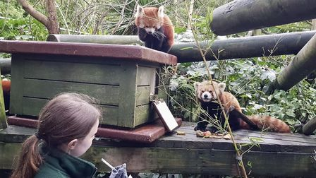 The red pandas were one of many species of animal at Colchester Zoo that have successfully bred in 2