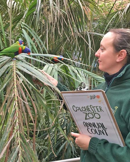 One of Colchester Zoo's 52 rainbow lorikeets reporting for the annual animal count Picture: COLCHEST