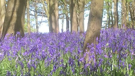 Spring sunshine and bluebells - what more could a walker want? These are in Newcome Wood, near Bentl