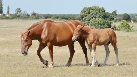 Suffolk Punches in the sunshine at the Suffolk Punch Trust Picture: PETER BEARD