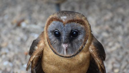 One of the owls at Suffolk Owl Sanctuary, at Stonham Barns Picture: ANDREW MUTIMER