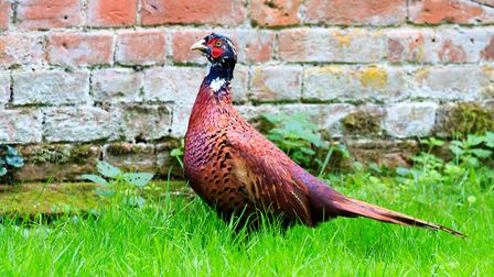 Three pheasants were also gifted to Suffolk Constabulary Picture: BARRY PULLEN/CITIZENSIDE