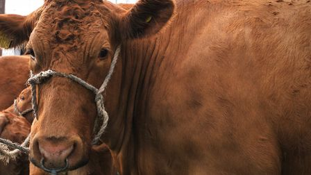Stock image of cattle outside shed Picture: SARAH LUCY BROWN