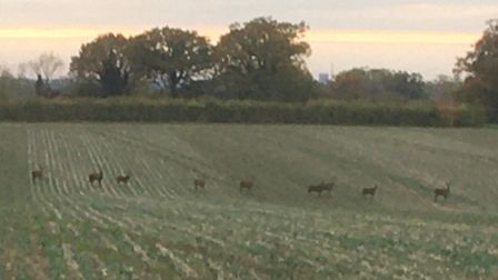 Red deer cross the farm land at Fordley Hall Picture: DAVID GRANT