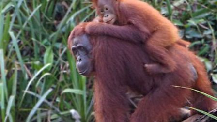 An orangutan mother and juvenile along the riverbank taken by Cameron in Borneo last summer Picture