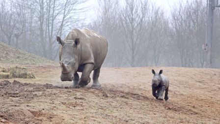 The first glimpses of Emily outside with new calf Lottie have emerged from Colchester Zoo Picture: C