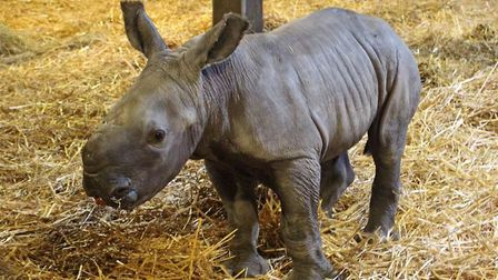 Colchester Zoo's newest white rhino now has a name - Lottie has been spotted enjoying the muddy pudd