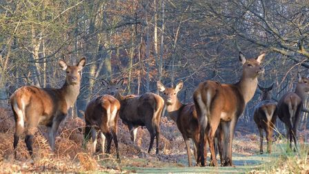 Red deer at Minsmere - the rutting is one of the great wildlife spectacles of autumn. Picture: CHARL