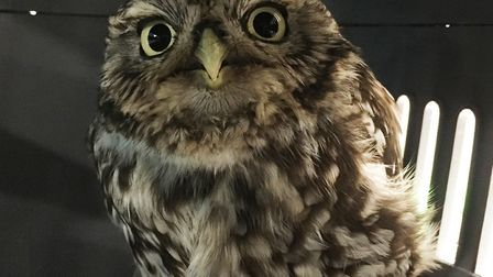 """The owl was thought to be injured, but was infact """"extremely obese"""", says the resuce sanctuary. Pict"""