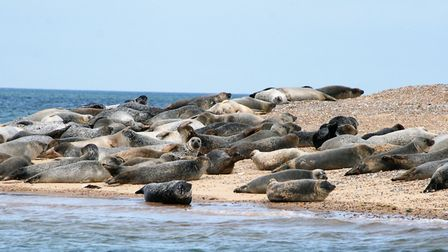 Seals on the beach at Blakeney Point Picture: PAUL GEATER