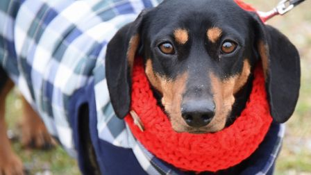 Albert, four-months-old is ready for the action at the Southwold Sausage Dog Walk. Picture: DENISE B