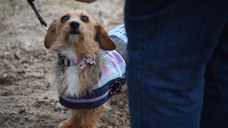 A treat for four-year-old Poppy at the Southwold Sausage Dog Walk. Picture: DENISE BRADLEY