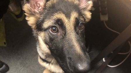A German Shepherd believed to have been stolen has been returned to its owners by Suffolk police Pi