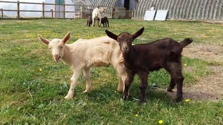 Kid goats at Poppies Care Farm. Picture: LIZ MARLEY