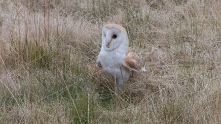 A barn owl at the bowling green, pictured in 2013 Picture: CONTRIBUTED