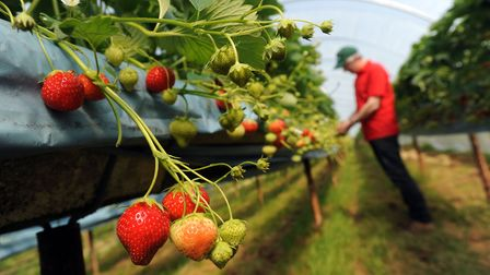 Andrew Sturgeon examining his strawberry crop Picture: PHIL MORLEY