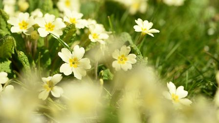 It's said that primroses wont grow in the village of Cockfield. Picture: James Bass