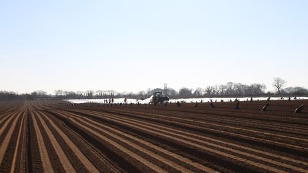 Seasonal workers lay fleece over the carrot crop at James Foskett Farms at Bromeswell, near Woodbrid