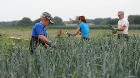 Farmworkers working on a leek crop at Home Farm Nacton Picture: ALEX FAIRFULL