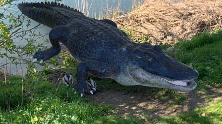 An alligator by the River Gipping