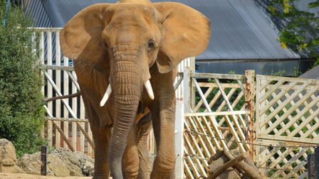 Colchester Zoo are going live at 11am on their Facebook page to show the elephants during lockdown P