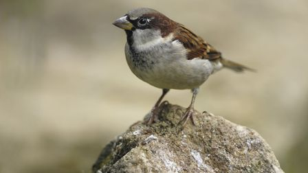 House sparrow, the most common bird seen in our gardens. Picture: RAY KENNEDY/RSPB