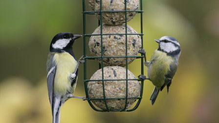 Great tit and Blue tit feeding from small suet ball feeder, in garden. Picture: NIGEL BLAKE/RSPB