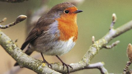 The robin remains a common garden visitor. Picture: ANDY HAY/RSPB