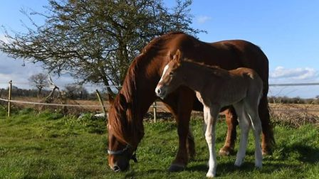 New mum Peggy and her first foal Amy Picture: ASHLEY PICKERING