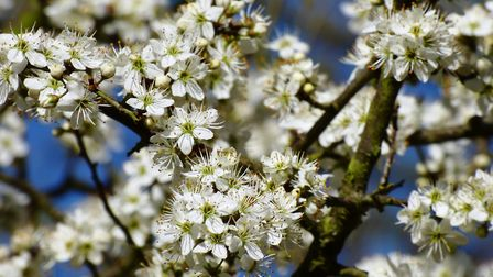 Blackthorn blossom is showing this spring. Picture: MIKE ANDREWS/SWT