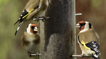 Goldfinches on a bird feeder - can you see them in your garden? Picture: HAWK HONEY/SWT